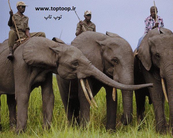 تعبیر خواب فیل بزرگ