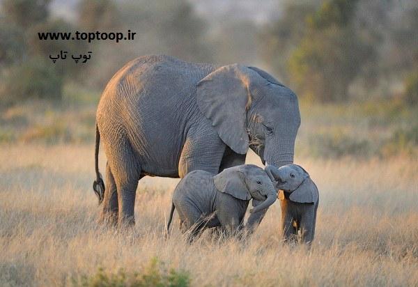 تعبیر خواب فیل و بچه فیل