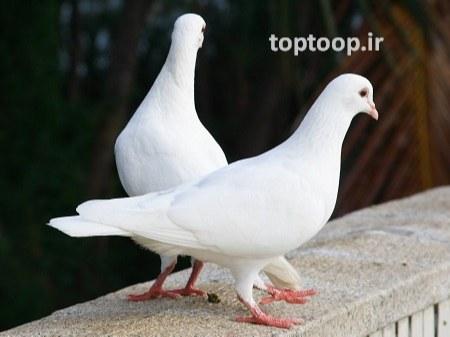 تعبیر خواب نشستن کبوتر روی شانه