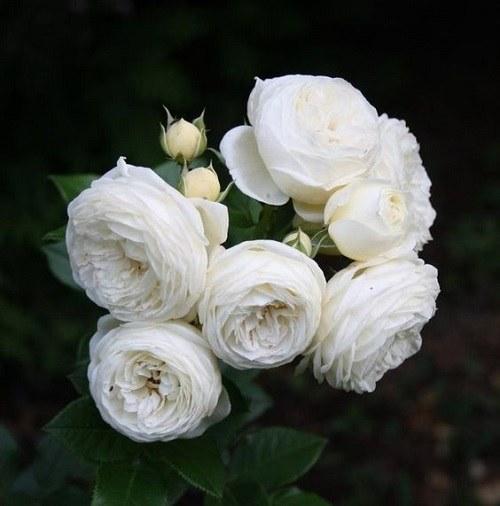عکس پروفایل گلهای سفید