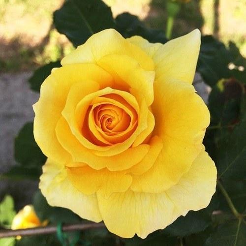 عکس پروفایل گل رز زرد