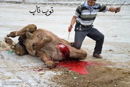 تعبیر خواب قربانی کردن بچه ی شتر