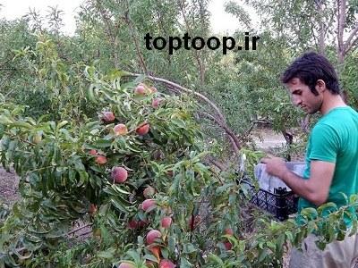 تعبیر خواب چیدن میوه از درخت هلو