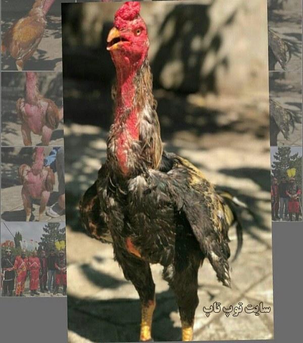 عکس خروس لاری جنگی سیاه