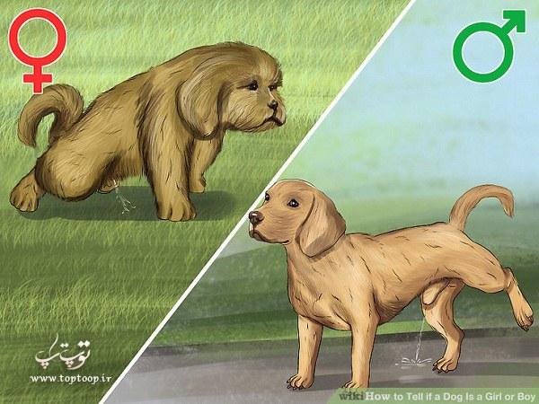 آموزش کامل تشخیص جنسیت سگ از راه های مختلف
