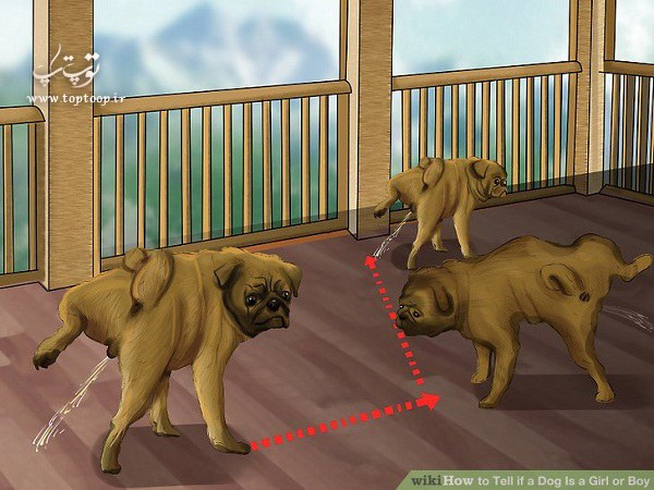 روش های آسان و کاربردی برای تعیین جنسیت سگ و توله سگ