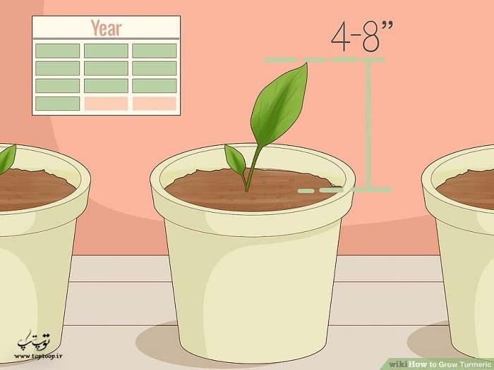 رشد کردن زردچوبه بعد از شش ماه