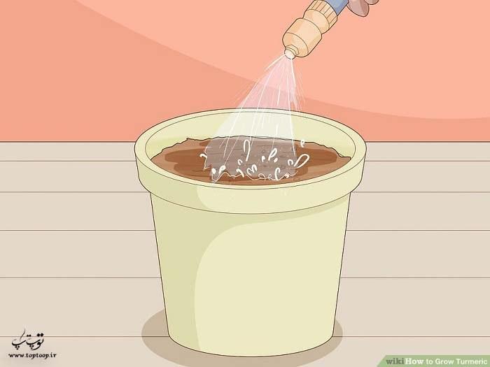 آب دادن به گیاهان زردچوبه در گلدان