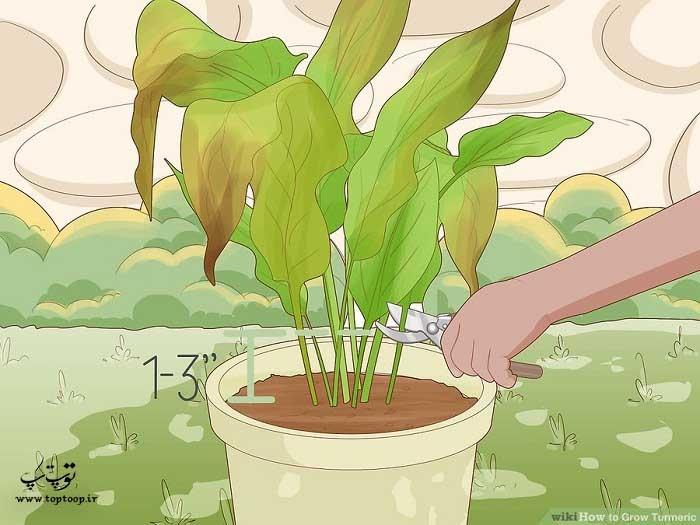 برش دادن ساقه های گیاه زردچوبه