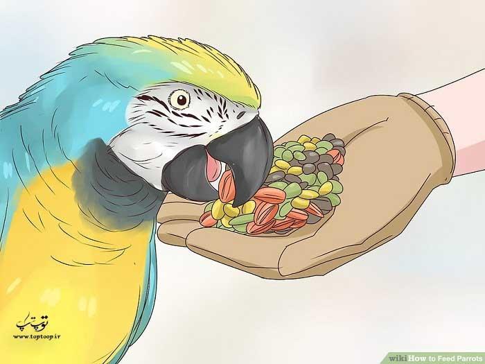 از دانه در رژیم غذایی طوطی استفاده کنید