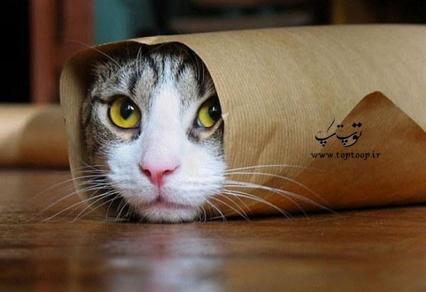 گربه از خیار می ترسد