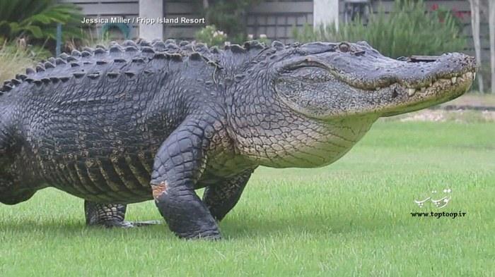 عکس های دیدنی از تمساح