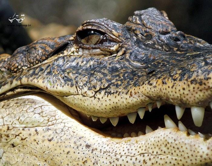 عکس از چهره ترسناک تمساح