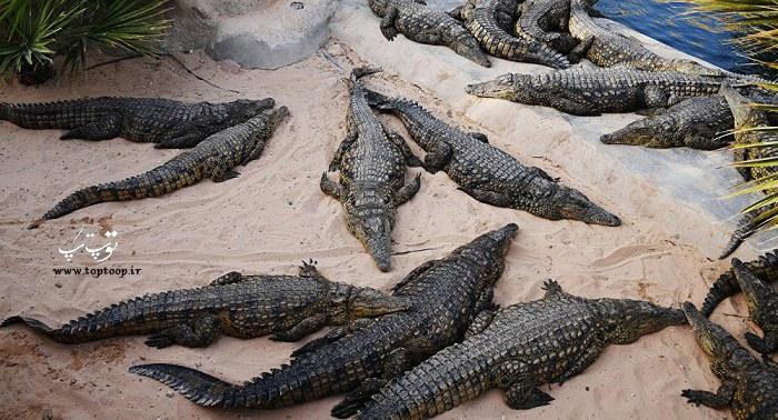 عکس از چند تمساح خاکستری در کنار هم