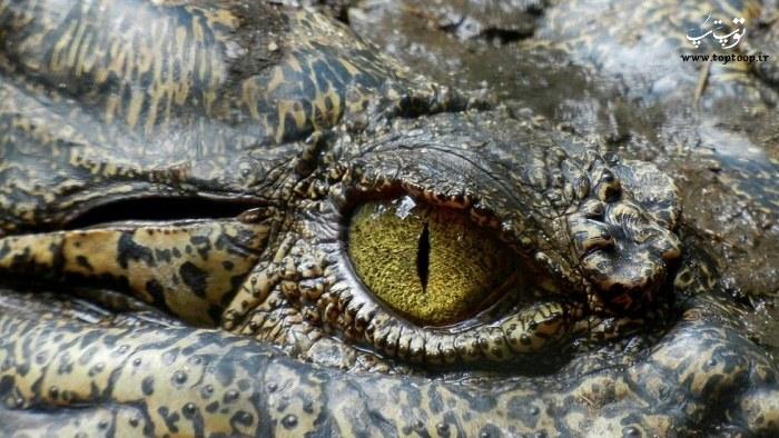 عکس از چشم تمساح
