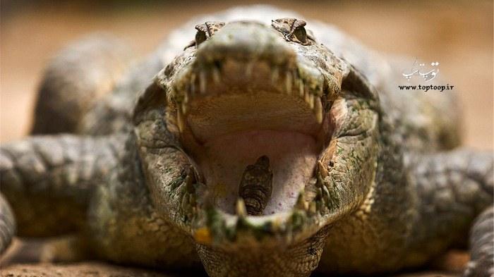 عکس آرواره تمساح