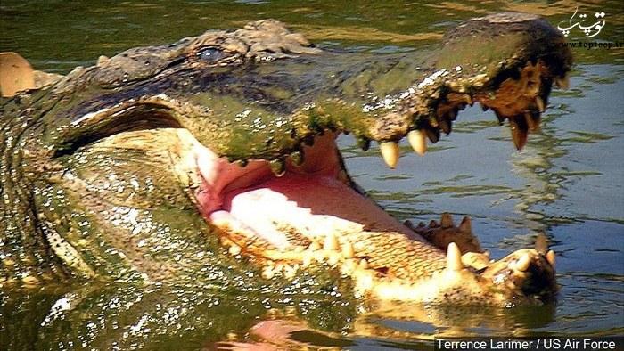 عکس تمساح خطرناک
