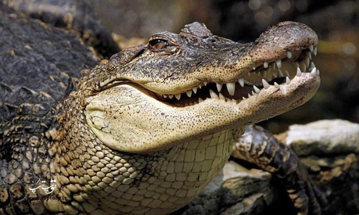 عکس های دیدنی و خفن از تمساح ها