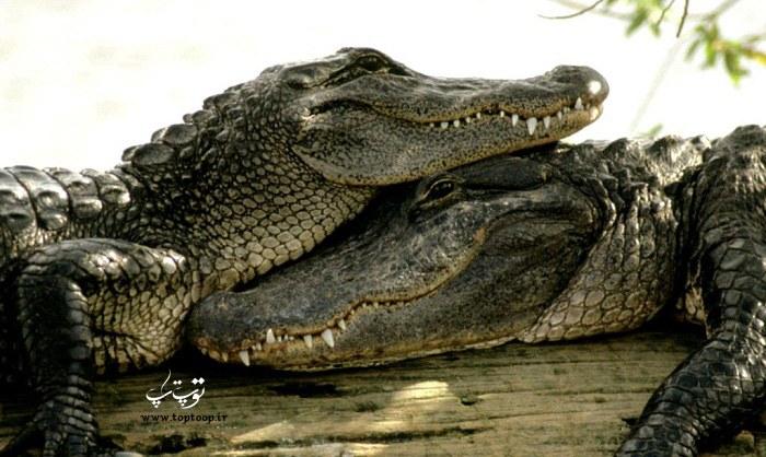 عکس تمساح نر و ماده