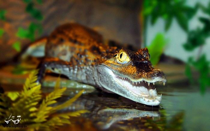 عکس تمساح رنگی