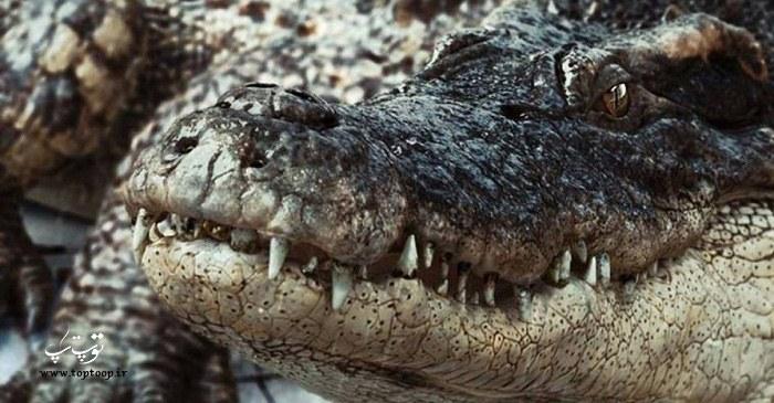 تمساح سیاه