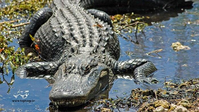 عکس تمساح