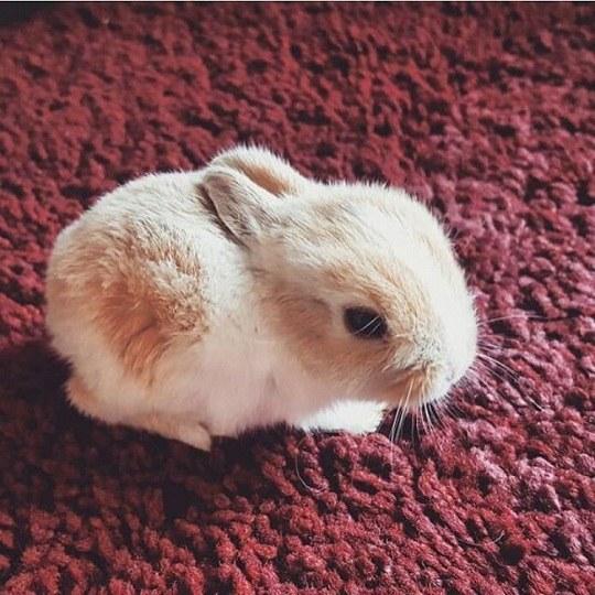 عکس خرگوش دخترانه روی قالی