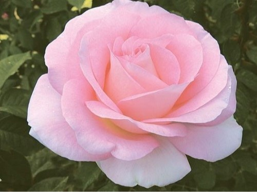 دانلود عکس گل رز جذاب برای پروفایل