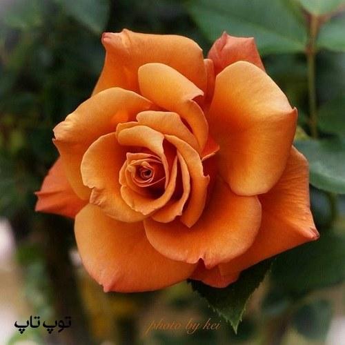 عکس گل عاشقانه برا پروفایل همراه با معرفی برترین گل های ایرانی