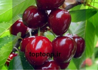 تعبیر خواب چیدن میوه از درخت گیلاس