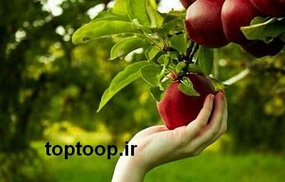 تعبیر خواب چیدن میوه از درخت سیب
