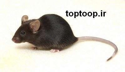تعبیر خواب گاز گرفتن موش سیاه یا خاکستری