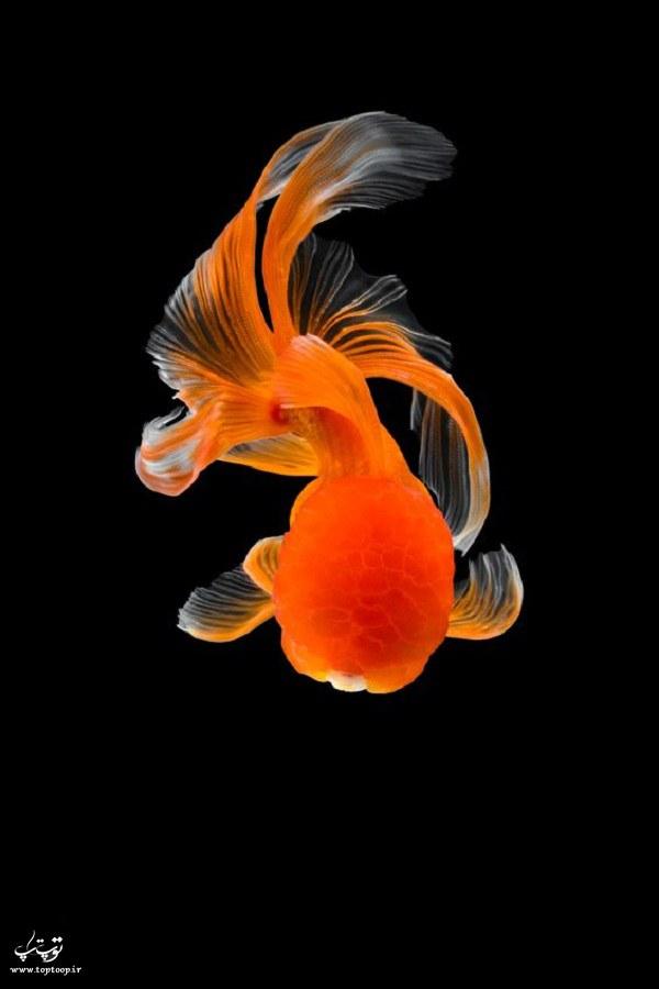 عکس ماهی گلفیش قرمز زینتی