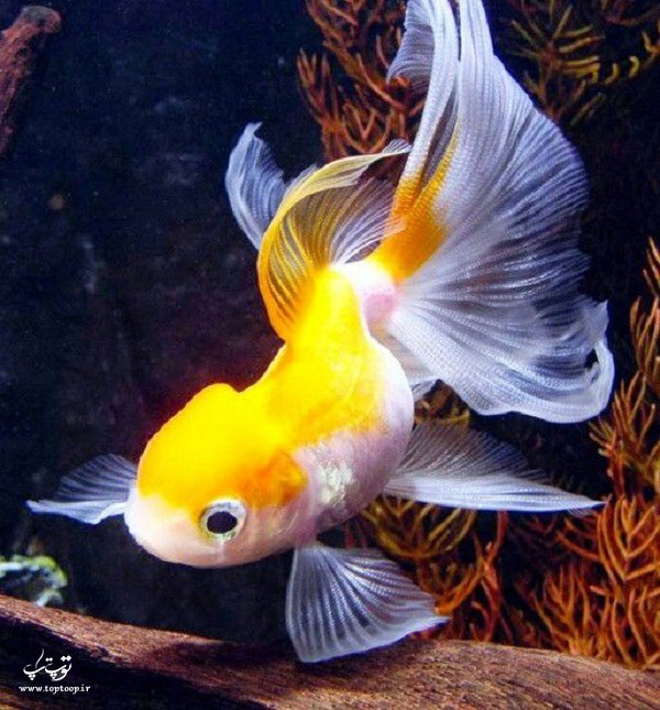 عکس ماهی گلفیش زرد رنگ