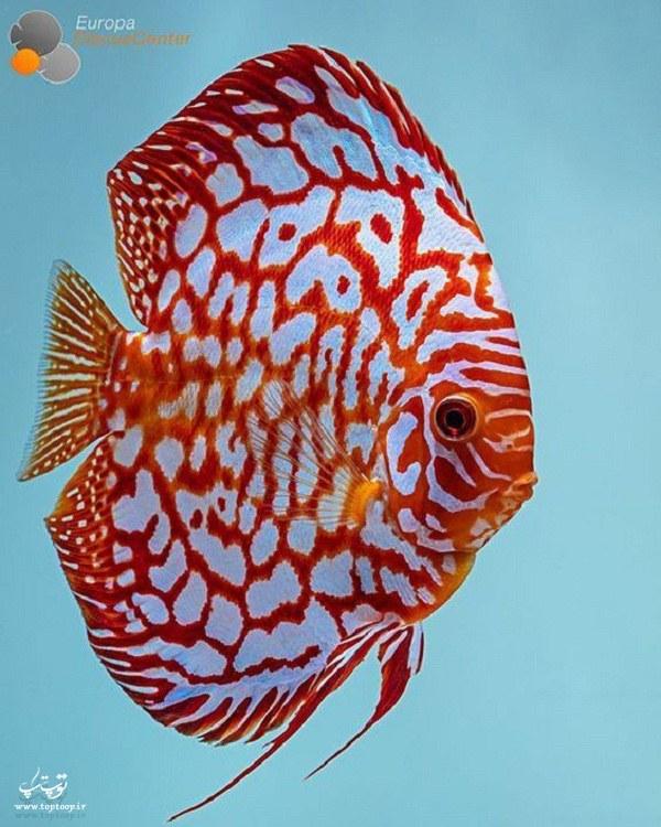 آلبوم عکس ماهی های زیبا و تزیینی