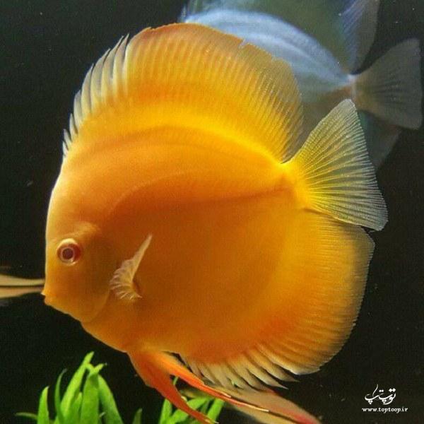 عکس ماهی زینتی زرد رنگ