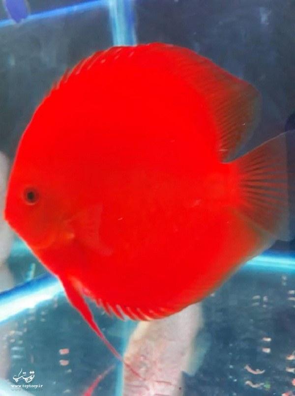 عکس ماهی زینتی خوشگل قرمز