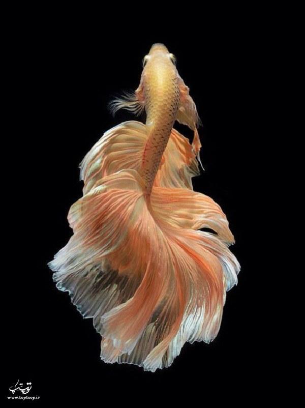 عکس ماهی با دم بلند و قشنگ
