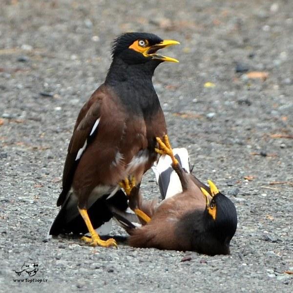 عکس دعوای مرغ مینا