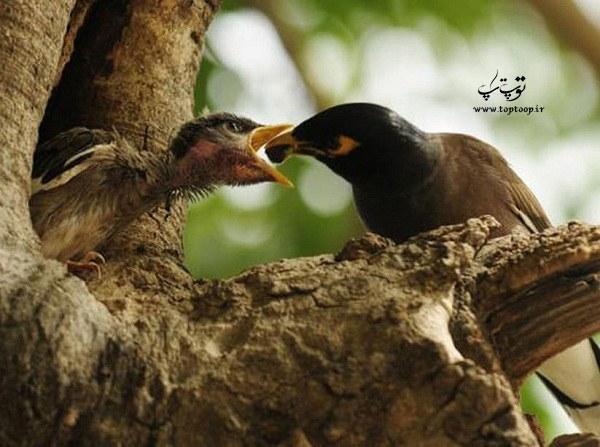 غذا دادن مرغ مینا به جوجه هایش در طبیعت