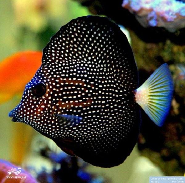 عکس ماهی اکواریومی زیبا