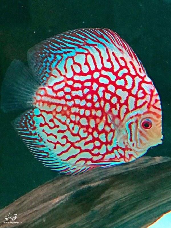 عکس ماهی زینتی و زیبا 2020 جدید