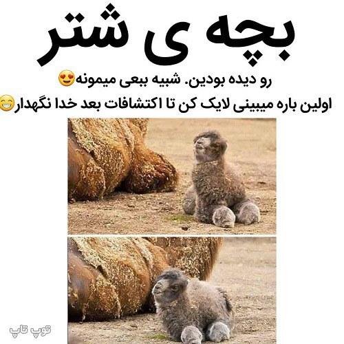 عکس نوشته خنده دار بچه شتر