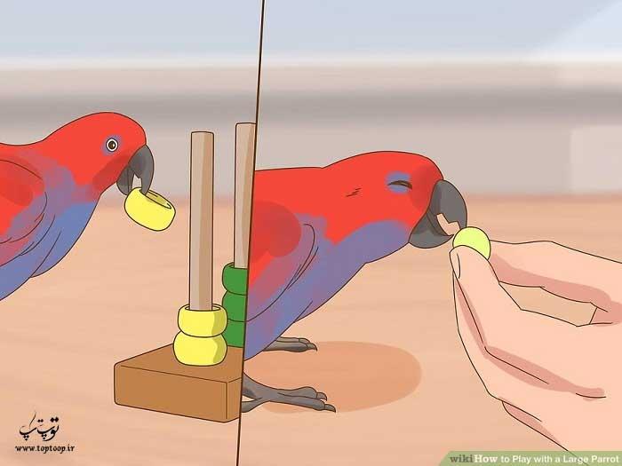 جایزه دادن به طوطی هنگام بازی با اسباب بازی