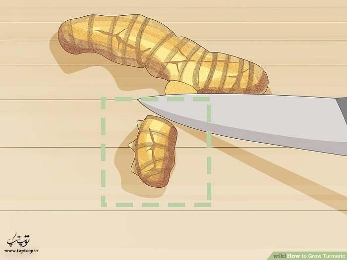 جدا کردن ساقه زیرین زردچوبه