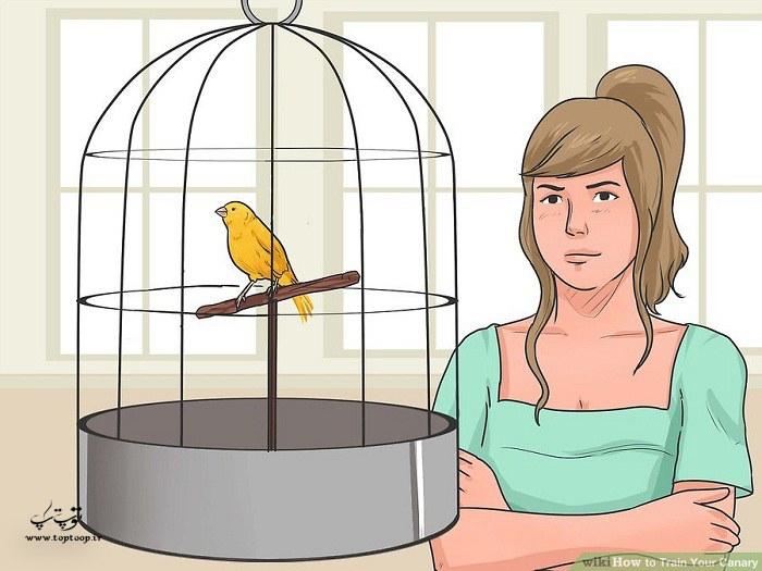 چگونه قناری خود را آموزش دهید