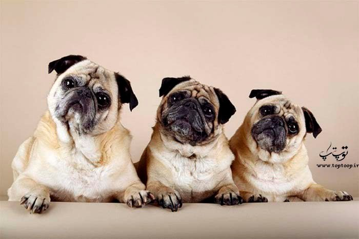 از سگ های خانگی می توانید در آپارتمان مراقبت کنید ، نژاد پاگ