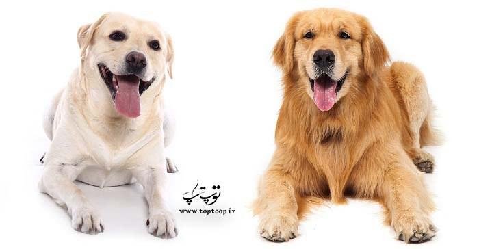 معرفی نژاد سگ خانگی لابرادور رتریور