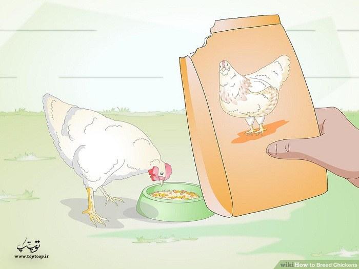 نحوه پرورش جوجه مرغ ، پرورش جوجه مرغ