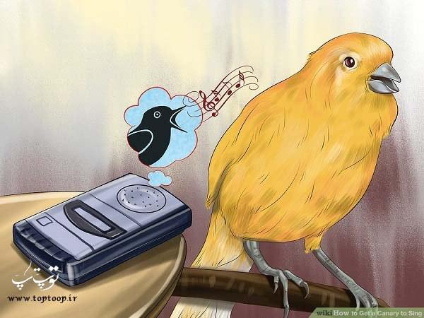 تشویق قناری برای آواز خواندن